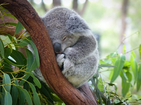 Stopping koala extinction is agonisingly simple. But here's why I'm not optimistic