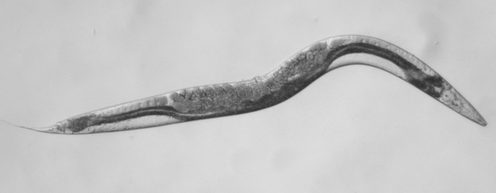 How a tiny worm is helping to find a cure for an extremely rare form of cancer