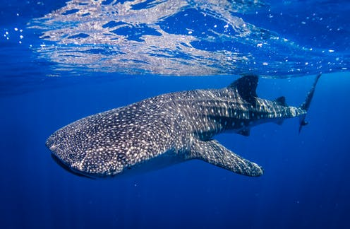Whale sharks: boat strikes in protected areas could be harming the animals' development