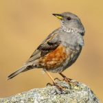 An Alpine accentor bird on a rock