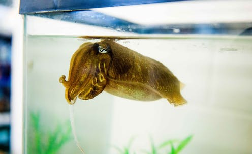 Clever cuttlefish show advanced self-control, like chimps and crows