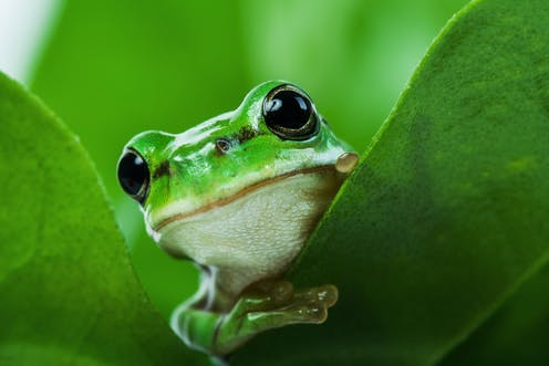This frog's lungs act like noise cancelling headphones